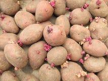 Potatisar för att landa Fotografering för Bildbyråer