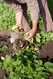 potatisar för första plockning för earlys lyftande Arkivfoton
