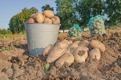 Potatisar i en hink som skördar arkivbilder