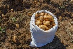 Potatisar i en vit påse Arbeta i trädgården och att bruka begreppet - plockningpotatisar Royaltyfria Bilder