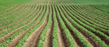 Potatisar i ett fält Arkivfoto