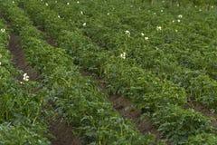Potatisar i fältet Royaltyfri Fotografi