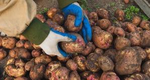 Potatisar i händerna av royaltyfria bilder