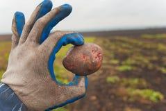 Potatisar i hand royaltyfria bilder