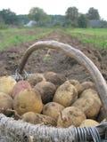 Potatisar i korgen Arkivbild