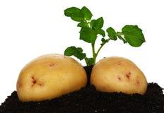 Potatisar med grodden Royaltyfri Fotografi