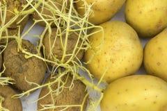Potatisar och gamla potatisar med spirade forsar Royaltyfria Bilder