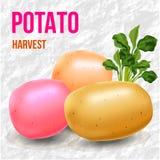 Potatisar och groddskörddag Fotografering för Bildbyråer