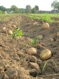 Potatisar på fältet Royaltyfria Foton
