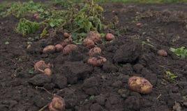 Potatisar på jordningen royaltyfri foto