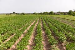 Potatisar som växer i trädgården Arkivfoto