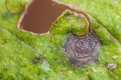 Potatisblad som anfallas av den solani alternariaen Arkivbild