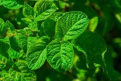 Potatisblast Fotografering för Bildbyråer