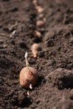 Potatisen är i fältet Arkivfoto