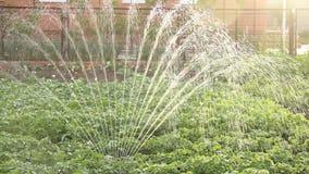 Potatisen bäddar ned att bevattna - vattenspridarearbete i lantgård organiskt naturligt bevattna för potatisbuskar arkivfilmer