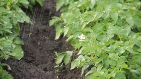 Potatisen bäddar ned att bevattna - vattenspridarearbete i lantgård organiskt naturligt bevattna för potatisbuskar lager videofilmer