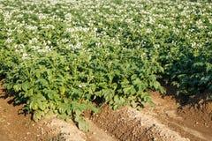 Potatisen blommar att blomma i fältet Fält med blommandekrukan Arkivbild