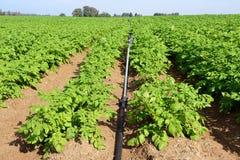 Potatisen sätter in royaltyfri fotografi