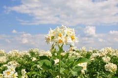 Potatisfält arkivbild
