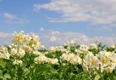 Potatisfält royaltyfri foto