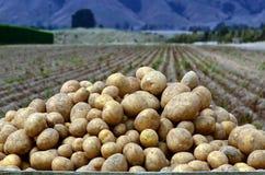Potatisfält royaltyfri fotografi