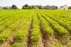 Potatisfält Fotografering för Bildbyråer