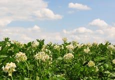 Potatisfält arkivfoto