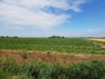 Potatisfält i den Wilde Veenen polder i Waddinxveen Nederländerna fotografering för bildbyråer