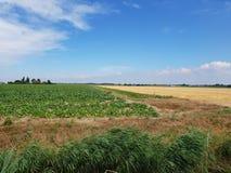 Potatisfält i den Wilde Veenen polder i Waddinxveen Nederländerna royaltyfri bild
