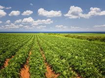 Potatisfält i prinsen Edward Island arkivfoto