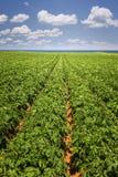 Potatisfält i prinsen Edward Island Royaltyfria Bilder