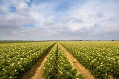 Potatisfält i sommartid Royaltyfria Foton