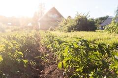 Potatisfält med lantbrukarhemmet i bakgrunden Royaltyfria Bilder