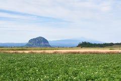 Potatisfält med Mt Sanbangsan och Mt Hallasan Arkivfoton