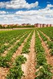 Potatisfält och stad Royaltyfri Fotografi