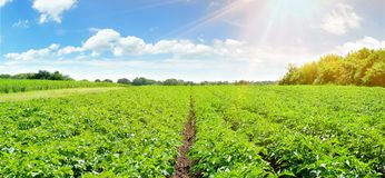 Potatisfält - panorama arkivbild
