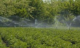 Potatisfält som bevattnas med en sprinkleranläggning Royaltyfria Bilder