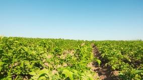 Potatisfält, Time-schackningsperiod med dockan arkivfilmer
