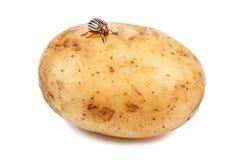 Potatisfel på den rå potatisen fotografering för bildbyråer