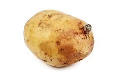 Potatisfel på vit royaltyfria foton