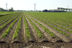 Potatiskanter, bondgård och väderkvarnar, Nederländerna Arkivbild