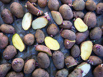 Potatisknölar torkar ut efter behandlingen av sjukdomar, innan de planterar Fotografering för Bildbyråer