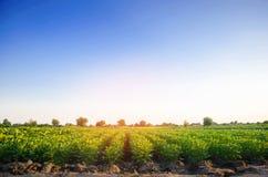 Potatiskolonier växer i fältet grönsakrader Lantbruk jordbruk Landskap med jordbruks- land kantjusteringar royaltyfria bilder