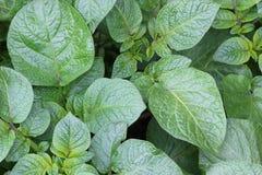 Potatislapp Fotografering för Bildbyråer