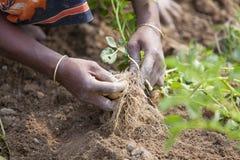 Potatisplockning - kvinnor samlar potatisar i trädgård Fotografering för Bildbyråer