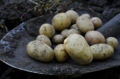 Potatisskörd Royaltyfria Bilder