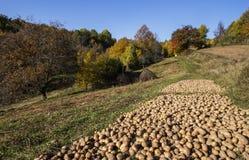 Potatisskörd i nedgångsäsong på bygd royaltyfri bild