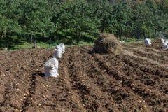 Potatisskörd i säckarna Arkivfoto