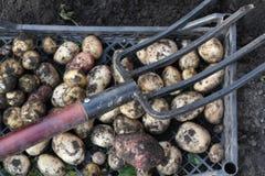 Potatisskörd i Sibirien royaltyfria bilder