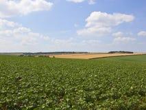 Potatisskördar i ett patchworksommarlandskap Royaltyfria Bilder